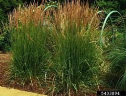 ornamental grasses that take the heat bayer advanced