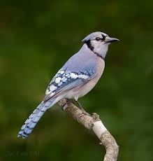 Florida Backyard Birds - backyard bird photography setup tips