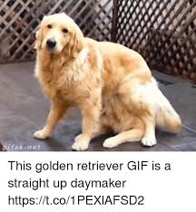 Golden Retriever Meme - fak net this golden retriever gif is a straight up daymaker