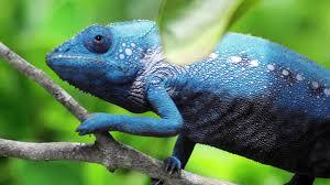 chameleon changing color youtube