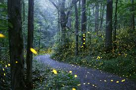 for 2 spectacular weeks mating fireflies light up smoky mountains