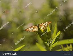 white peacock butterfly anartia jatrophae perched stock photo