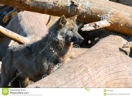 wolf and trees stock photo 50832325 megapixl