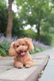 Gingerdoodle by 104 Best Poodles Images On Pinterest Animals Toy Poodles And
