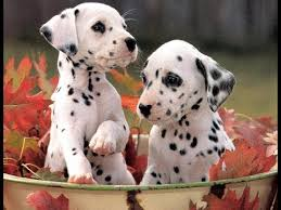 puppies for sale dalmatian puppies for sale in sacramento county california ca