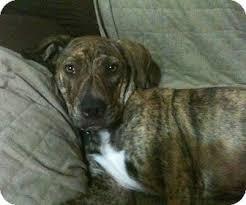 american pit bull terrier brindle sonja adopted dog tahlequah ok american pit bull terrier