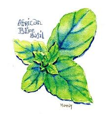 plant of the week african blue basil there u0027s a new basil on the