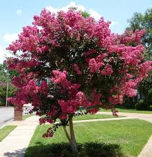tuscarora crape myrtle for sale the tree center