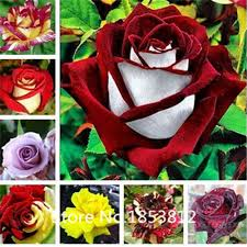 black roses for sale sale true blood purple seeds amazingly beautiful