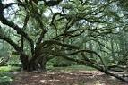 LIVE OAK Society - LGCF, Inc.