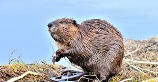 here u0027s what a beaver u0027s secretions have to do with u0027natural