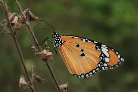 file common tiger butterfly jpg wikimedia commons