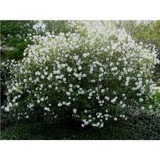 Fragrant Container Plants - fragrant snowball bush viburnum x carlcephalum potted plants