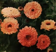 Birth Flower Of January - the calendula is october u0027s birth flower
