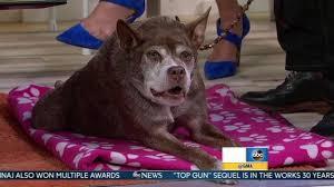 Ugliest Ugliest Dog U0027 Quasi Modo Makes Appearance On Good Morning America
