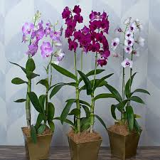 dendrobium orchid three months of dendrobium orchids grower s choice white