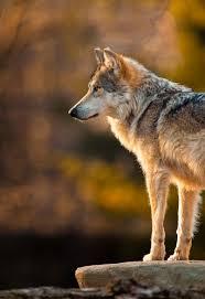 spirit halloween orland park wowtastic nature u201c mexican gray wolf on 500px by glenn nagel
