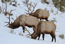 Elk Population Map Yellowstone Elk Population Stable According To Annual Aerial