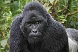 gorilla trekking in rwanda uganda and congo huffpost