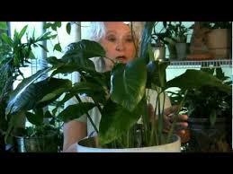 houseplants 5 if your leaves turn yellow youtube