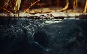 images of crocodile and alligator wallpaper sc
