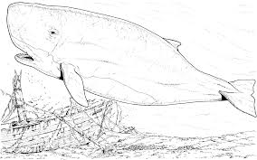 Sperm Whale Clipart Coloring Page Pencil And In Color Sperm Whale Color Page
