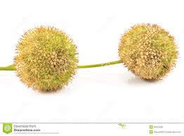 two plane tree seed balls royalty free stock photos image 26014248