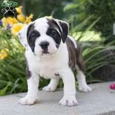 australian shepherd english bulldog mix english bulldog mix puppies for sale greenfield puppies