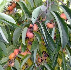 growing native plants american persimmons produce delicious fruit for both human