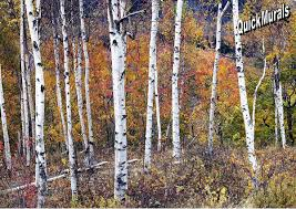 birch forest wall mural peel and stick wall mural