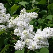 syringa mme lemoine lilac tree mail order trees