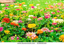 Zinnia Flowers Zinnia Stock Images Royalty Free Images U0026 Vectors Shutterstock