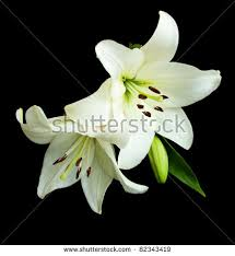 white lilies white stock images royalty free images vectors