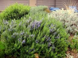 Flowers That Keep Mosquitoes Away 11 Herbs To Get Rid Of Mosquitoes Jiji Ng Blog
