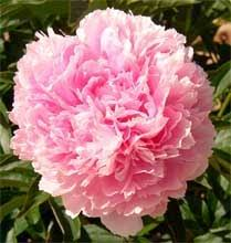 Peonies For Sale Pink Peonies For Sale From Fina Gardens