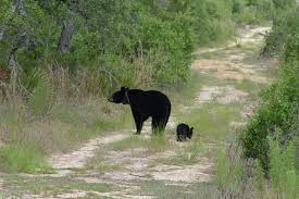 Florida wildlife images Veteran wildlife lawyer trying to stop florida black bear hunt an jpg