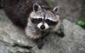 raccoon hd desktop wallpapers 7wallpapers net