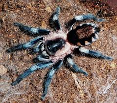 46 best tarantula wishlist images on spiders baboon