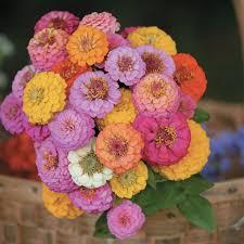 zinnia flowers pompom zinnia flowers and bulbs veseys