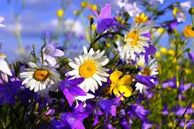 Blue Flower Backgrounds - flowers blue flowers purple nature floral daisies sky wild summer