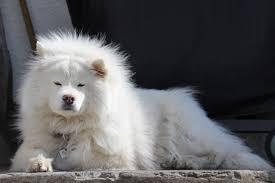 american eskimo dog small free images white animal cute canine sunbathing pet