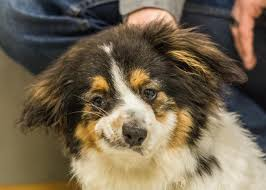 australian shepherd underbite 25 adoptable dogs who definitely could be internet celebrities