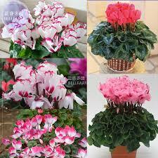 Cheap Flower Seeds - online get cheap red cyclamen flower seed aliexpress com