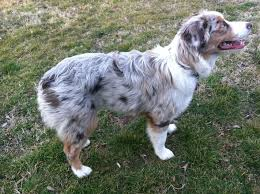 australian shepherd 10 months australian shepherd coat u0026 ears questions