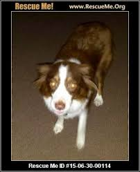 is an australian shepherd smart australian shepherd blog u2015 rescueme org