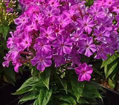 phlox flower phlox early purple white flower farm
