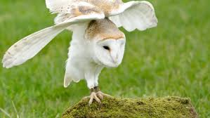 What Does A Barn Owl Look Like How Long Do Barn Owls Live Reference Com