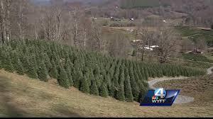 christmas tree season kicks off friday for one wnc farm the