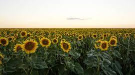 salina ks sunflower field by kansas state university kansas state university rankings tuition acceptance rate etc