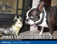 Boston Terrier Meme - boston terrier walk meme photo dogs pinterest terrier dog